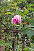 Rosa 'Gertrude Jekyll' (englische Rose), duftend, robust, oefterbluehend am alten Eisenzaun