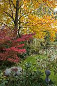 Acer palmatum (Fächerahorn) im Schatten unter großem Liriodendron (Tulpenbaum), Rhododendron (Alpenrose), Kübel mit Calocephalus (Greiskraut, Stacheldraht) und Calluna (Besenheide) im Beet