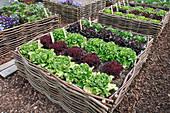 Hochbeet aus Haselruten mit bunten Salaten (Lactuca), Wege zwischen Beeten mit Rindenmulch