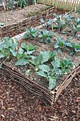 Gemüsebeet mit Einfassung aus Haselruten mit Brokkoli und Kohlrabi (Brassica), Wege zwischen Beeten mit Rindenmulch
