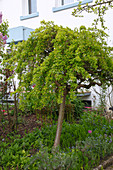 Caragana arborescens 'Pendula' (Hängender Erbsenstrauch) Stamm, unterpflanzt mit Convallaria (Maiglöckchen) und Myosotis (Vergissmeinnicht) im Vorgarten