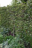 Crataegus prunifolia 'Splendens' (Pflaumenblättriger Weissdorn) als lebendiger Sichtschutz flach am Spalier gezogen, Beet mit Delphinium (Rittersporn), Hosta (Funkien)