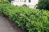 Prunus laurocerasus 'Otto Luyken' (Kirschlorbeer) als immergrüne Hecke