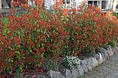 Photinia fraseri 'Red Robin' (Glanzmispel) als Hecke, leuchtend roter Austrieb im Frühling, geeignet für wintermilde Regionen