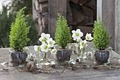 Helleborus niger (Christrose) mit Chamaecyparis 'Ellwoodii' (Scheinzypresse)