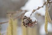 Corylus avellana (Haselnuss) im Vorfrühling