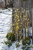 Jasminum nudiflorum (Winterjasmin) ,Buxus (Buchs - Kugeln) und Helleborus