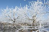Dick mit Rauhreif-Kristallen überzogene Apfelbäume (Malus)