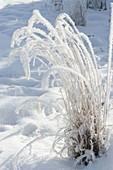 Gefrorenes Gras im verschneiten Garten mit fantastischen Rauhreif-Kristallen