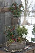 Winterfest bepflanzte Holz-Bottiche : Ilex aquifolium (Stechpalme), Pinus mugo