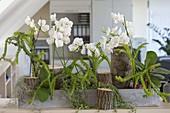 Büro-Bepflanzung mit Phalaenopsis (Schmetterlingsorchidee, Malayenblumen