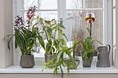 Fenster für Halbschatten - Pflanzen : Colmanara Wildcat 'Bobcat' (Orchideen)