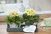 Zart duftende Primula acaulis (Primeln) in Tassen auf Holz-Tablett