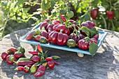 Verschiedene Sorten frisch geerntete Paprika und Peperoni