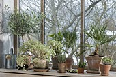 Überwintern im kalten Wintergarten am Fenster