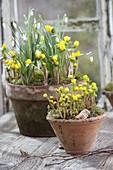 Tontoepfe mit Eranthis hyemalis (Winterlingen) und Galanthus nivalis