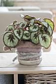 Begonia Rex-Hybride 'Mikado' (Rex-Begonie, Blattbegonie)