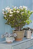 Crassula arborescens (Geldbaum, Pfennigbaum) in voller Blüte