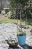 Salix caprea 'Kilmarnock' (Kätzchenweide) Staemmchen, Viola cornuta