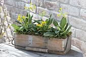 Holzkasten mit Primula veris (Schluesselblumen)
