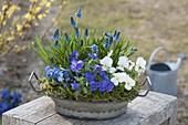 Zink-Schale blau - weiss bepflanzt mit Viola cornuta (Hornveilchen), Muscari