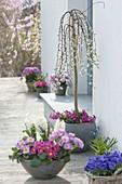 Graue Schale mit Hyacinthus 'White Pearl' (Hyazinthen) und Primula