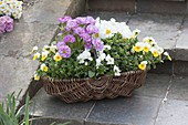 Körbchen mit Kräutern und essbaren Blüten : Primula acaulis 'Suzette'