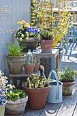 Frühlings - Terrasse mit Viola cornuta (Hornveilchen), Tussilago farfara