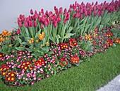 Für Ausstellung gestaltetes Beet mit Tulipa (Tulpen), Primula acaulis