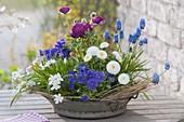 Metall-Schale mit Fruehlingsbluehern bepflanzt : Bellis (Tausendschön), Viol