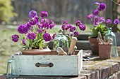 Töpfe mit Primula denticulata (Kugelprimeln), Glasglocken, alte Schublade