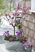 Pfirsichbaeumchen (Prunus persica) mit Primula denticulata (Kugelprimeln