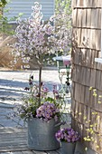 Alter Zink-Kübel mit Fruehlingsbepflanzung : Prunus incisa 'February Pink'