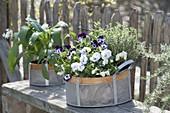 Körbe mit Viola cornuta (Hornveilchen), Thymian (Thymus vulgaris)