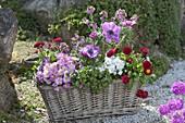 Korbkasten mit Fruehlingsbluehern : Primula acaulis 'Suzette' (Gefuellte Prime