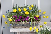 Korbkasten mit Narcissus 'Rip van Winkle' (Narzissen), Primula x pruhoniciana