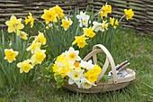Narcissus (Narzissen) im Rasen, Korb mit frisch geschnittenen Blüten