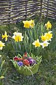 Osternest aus gruenem Filz neben Narcissus (Narzissen)