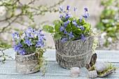 Viola odorata (Duftveilchen) in Gläsern verpackt mit Birkenrinde