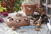 Im Herbst den Frühling pflanzen : Zwiebeln von Narcissus (Narzissen)
