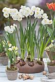 Im Herbst den Frühling pflanzen : Narcissus 'Bridal Crown' (Narzissen)