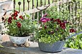 Alte, emaillierte Kuechensiebe bepflanzt mit Viola cornuta (Hornveilchen)