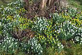Galanthus nivalis (Schneeglöckchen) und Eranthis hyemalis (Winterlinge)