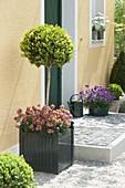 Kübel mit Buxus (Buchs) unterpflanzt mit Erysimum Poem 'Mandarin'