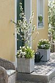 Weiss bepflanzte Holzkuebel mit Sauerkirsche 'Morellenfeuer'