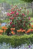 Camellia japonica 'Flame' (Kamelie) mit Tulipa 'Ballerina'