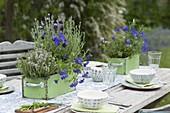 Grüne Holzkaesten mit Thymian (Thymus), Viola cornuta (Hornveilchen)