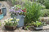 Fruehlingsfrische für den Bauerngarten : Viola cornuta (Hornveilchen),