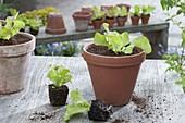 Salat - Jungpflanzen (Lactuca) in Tontopf