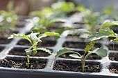 Jungpflanzen von Kohlrabi (Brassica) in Aussaatplatte